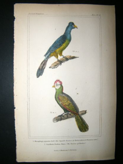 Cuvier C1835 Antique Hand Col Bird Print. Violet-Coloured Plantain Eater,  The Touraco Of Pauline, | Albion Prints